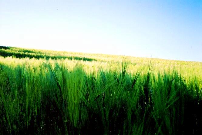 Feld in Boningen