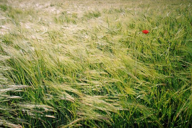 Kornfeld in Wangen bei Olten