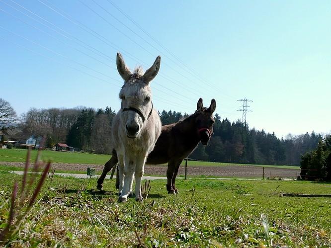 Zwei Esel in N�he Wynau