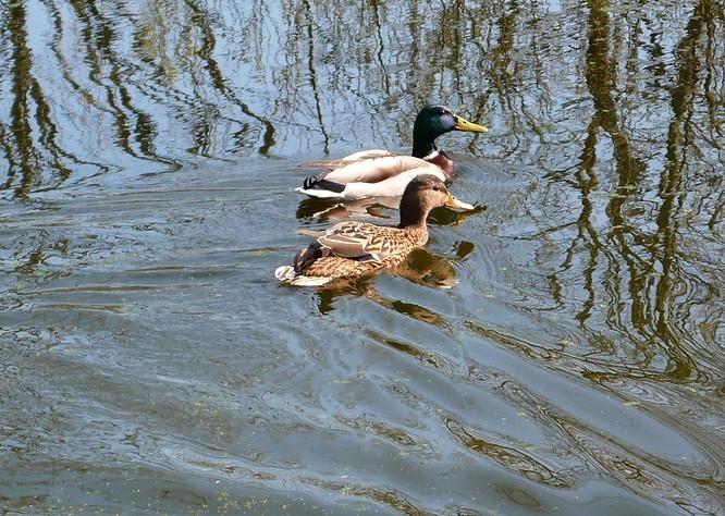 Zwei Enten im Weiher auf dem Born - Wangen