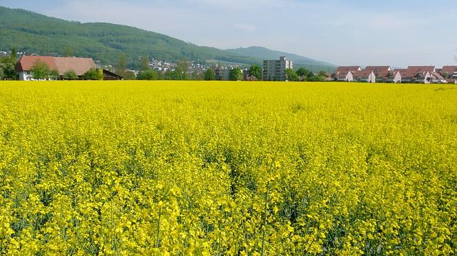 Rapsfeld in Wangen