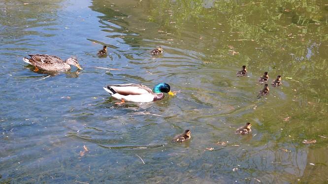 Entenfamilie im Zoo Basel