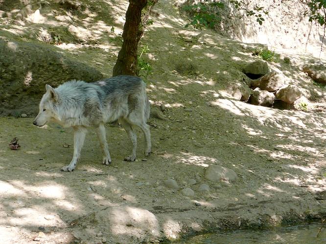 Wolf im Zoo Basel