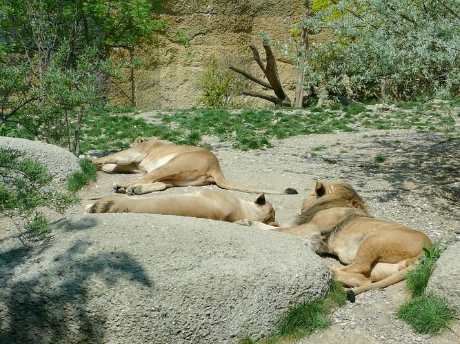 L�wen im Zoo Basel