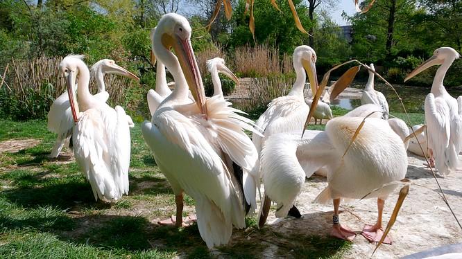 Pelikane im Zoo Basel