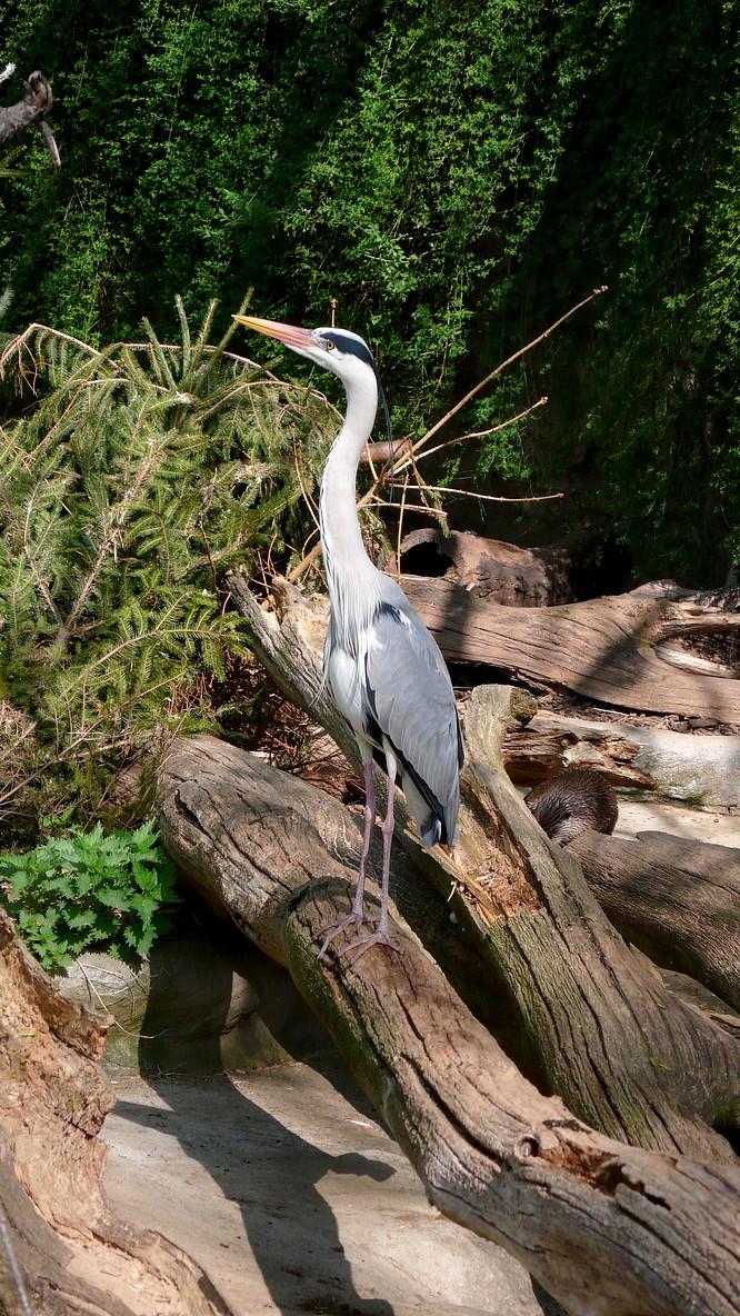 Reiher im Zoo Basel