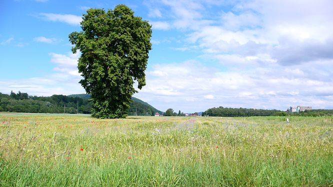 Kornfeld in Gunzgen