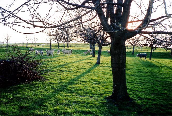 Schafe bei Berom�nster, Blick gegen W